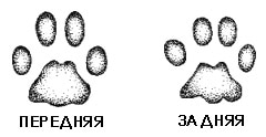 след рыжей рыси (Lynx rufus, Felis rufus), фото, фотография