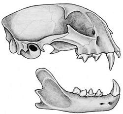 череп красной рыси (Felis rufus), фото, фотография