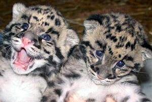 котята дымчатого леопарда (Neofelis nebulosa), фото, фотография