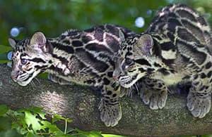 дымчатый леопард (Neofelis nebulosa), фото, фотография