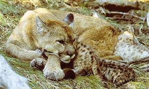 пума с котятами (Puma concolor, Felis concolor), фото, фотография