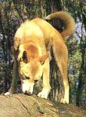 динго, австралийский динго (Canis dingo), фото, фотография