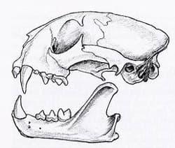 череп пумы (Puma concolor, Felis concolor), фото, фотография