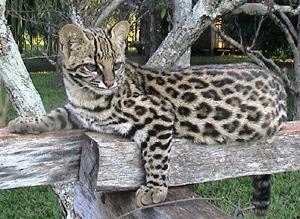 онцилла, тигровая кошка (Felis tigrina), фото, фотография c http://www.faunaparaguay.com