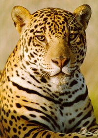ягуар (Panthera onca), фото, фотография c