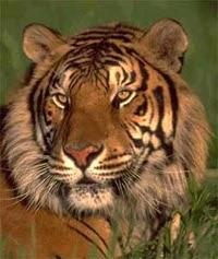 тигр (Panthera tigris), фото, фотография