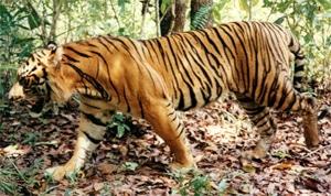 бенгальский тигр (Panthera tigris tigris), фото, фотография с http://jennifermarohasy.com/