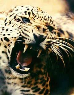 леопард (Panthera pardus), фото, фотография