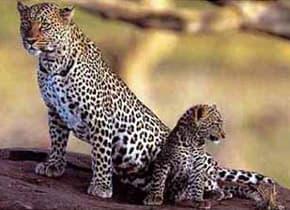 самка леопарда с детенышем (Panthera pardus), фото, фотография с