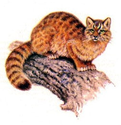 амурский лесной кот, дальневосточная лесная кошка, амурская кошка (Felis euptilura, Prionailurus euptilura), фото, фотография с http://nature.ok.ru/