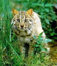 амурский лесной кот, дальневосточная лесная кошка, амурская кошка (Felis euptilura, Prionailurus euptilura), фото, фотография с http://adm.khv.ru/