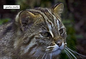 амурский лесной кот, дальневосточная лесная кошка, амурская кошка (Felis euptilura, Prionailurus euptilura), фото, фотография с http://mw2.google.com/mw-panoramio/, by Giulio Colla