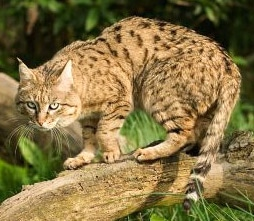 индийская дикая кошка, степной кот, азиатская дикая кошка (Felis silvestris ornata), фото, фотография c http://scottishwildcats.co.uk/
