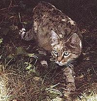 индийская дикая кошка, степной кот, азиатская дикая кошка (Felis silvestris ornata), фото, фотография c http://www.futura-sciences.com/