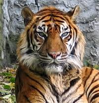 суматранский тигр (Panthera tigris sumatrae), фото, фотография с http://upload.wikimedia.org, автор Monika Betley