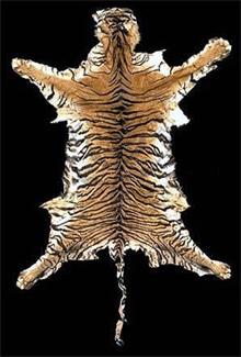 шкура суматранского тигра (Panthera tigris sumatrae), фото, фотография с http://piclib.nhm.ac.uk