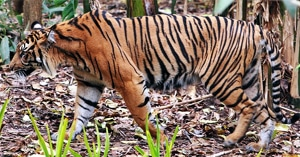 суматранский тигр (Panthera tigris sumatrae), фото, фотография с http://www.naturalist.if.ua