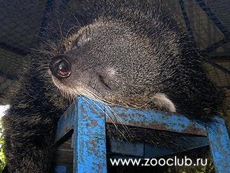 бинтуронг (Arctictis binturong), фото, фотография автор Гурьева С.Ю.