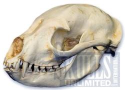 череп бинтуронга (Arctictis binturong), фото, фотография