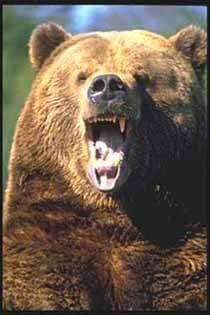 гризли, медведь гризли (Ursus horribilis), фото, фотография
