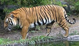 тигр индокитайский, тигр Корбетта (Panthera tigris corbetti), фото, фотография с http://commons.wikimedia.org