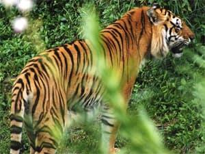 тигр Корбетта (Panthera tigris corbetti), фото, фотография с www.resimland.com/ img2612.htm