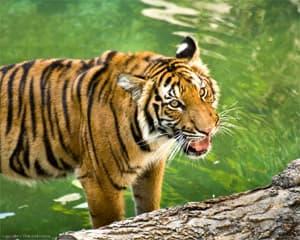 индокитайский тигр (Panthera tigris corbetti), фото, фотография с http://www.flickr.com/photos/reidgilman/2849086485/, by Reid Gilman, 2008