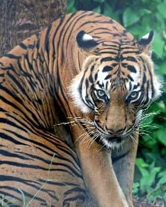 Малайский тигр (Panthera tigris jacksoni), фото, фотография с http://www.animalesextincion.es/articulo.php?id_noticia=269