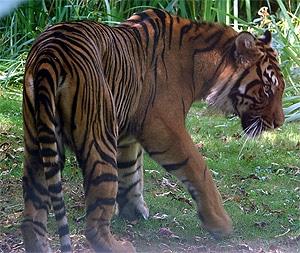 Малайский тигр (Panthera tigris jacksoni), фото, фотография с http://zoonaute.forumactif.com/