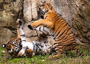 Малайский тигр (Panthera tigris jacksoni), фото, фотография с http://www.flickr.com/photos/28539833@N03/2940245094/