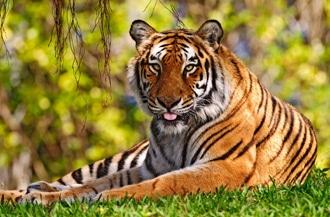 Бенгальский тигр (Panthera tigris tigris), фото, фотография