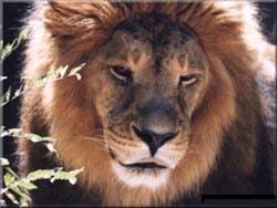 лев, львы (Felis leo), фото, фотография