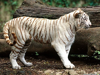 Белый бенгальский тигренок, индийский тигр (Panthera tigris tigris), фото, фотография