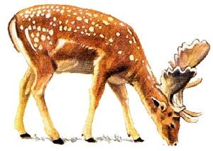 европейская лань (Cervus dama), рисунок картинка с http://utenti.multimania.it/naturawwf/daino.gif