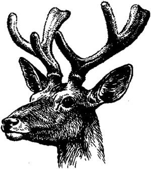 Марал пантач (Cervus maral), черно-белая картинка рисунок