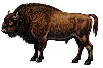 Зубр, европейский бизон (Bison bonasus), картинка рисунок