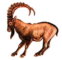 сибирский горный козел, центральноазиатский козел (Capra ibex), рисунок картинка