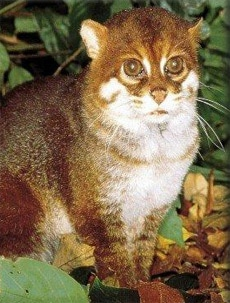 Суматранская кошка, плоскоголовая кошка (Prionailurus planiceps, Felis planiceps), фото фотография c http://media.photobucket.com/image/Prionailurus%20planiceps/Rynoah/WTF_Nature/prionailurus_planiceps_04.jpg