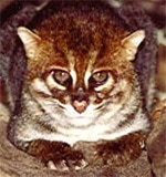 Суматранская кошка (Prionailurus planiceps), фото фотография c http://www.catchannel.com/images/wildcats/flat_headed_cat.jpg