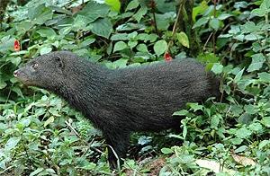 Водяной мангуст, болотный мангуст (Atilax paludinosus), фото фотография c http://www.derberg.com/bilder/Sumpfmanguste