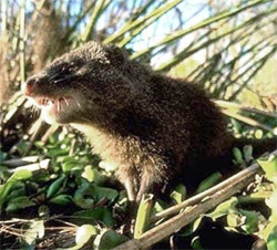 Болотный мангуст (Atilax paludinosus), фото фотография c http://ekapa.ioisa.org.za/ekapaafr/module6/Reserves/images/species/Watermongoose.jpg