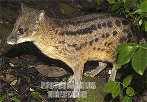 Фаналока, малагасийская плосатая циветта (Fossa fossana), фото фотография By Ariadne Van Zandbergen, http://img2.photographersdirect.com/img/5171/wm/pd1672918.jpg