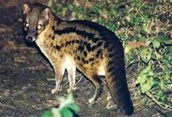Малагасийская плосатая циветта (Fossa fossana), фото фотография c http://www.ljplus.ru/img3/c/r/crazy_zoologist/fanaloka.JPG