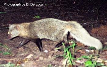 Мангуст Джексона (Bdeogale jacksoni), фото фотография