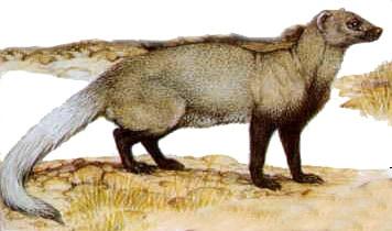 Мангуст черноногий (Bdeogale nigripes), рисунок картинка