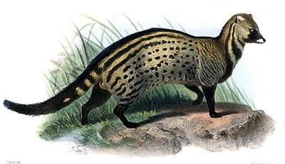 Африканская циветта (Civettictis civetta), рисунок картинка