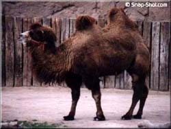 верблюд, фото, фотография