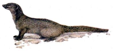 Мангуст Дыбовского, африканский саванновый мангуст (Dologale dybowskii), рисунок картинка, хищники мангусты