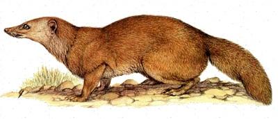 Мелкозубый мунго, фаланоук (Eupleres goudotii), рисунок картинка, мадагаскарские хищники