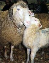 овца, овца с ягненком фото